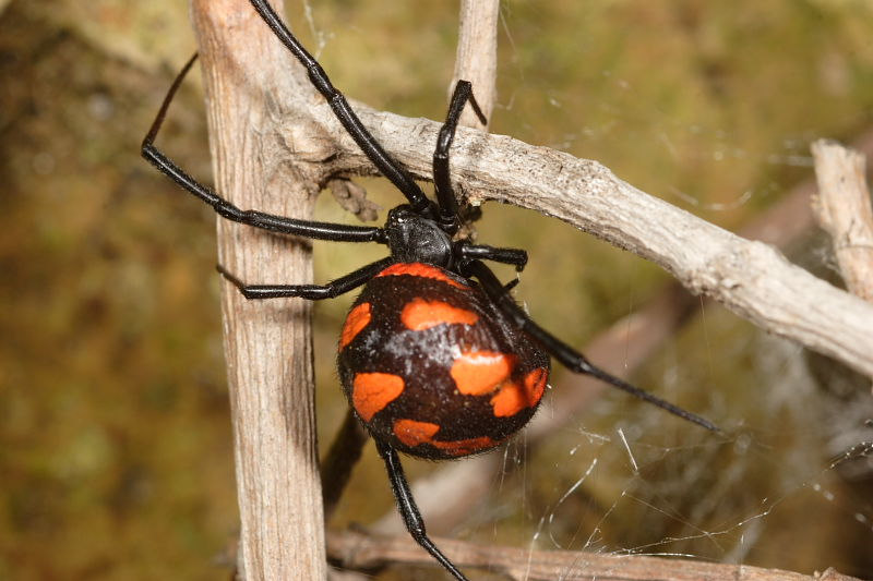 пауки россии фото