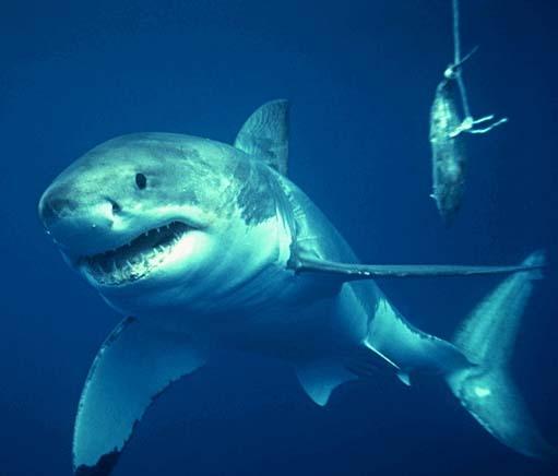 Lo squalo bianco - Galleria fotografica